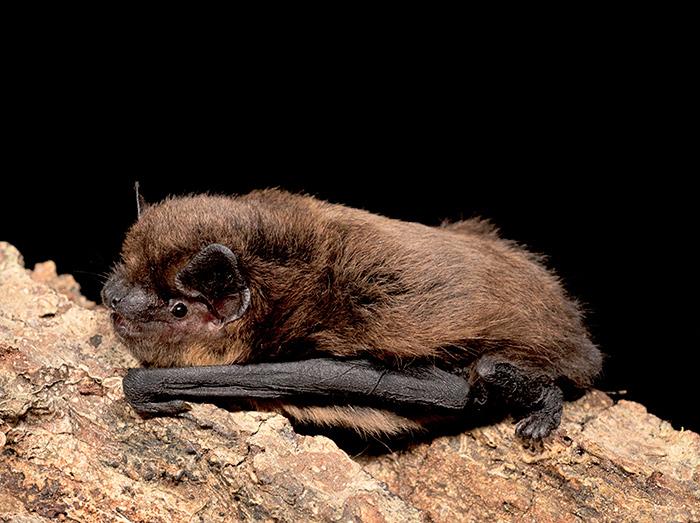 bat common pipistrelle let s go britain