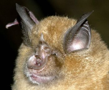 Greater Horseshoe Bat