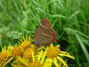 White-Letter Hairstreak Butterfly